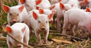 Обявиха бедствено положение в Плевенско заради чумата по свинете