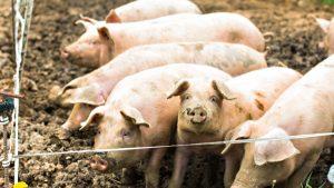 Андрюкайтис: България може да загуби свиневъдството си