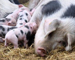 Чумата по свинете стигна до Видин