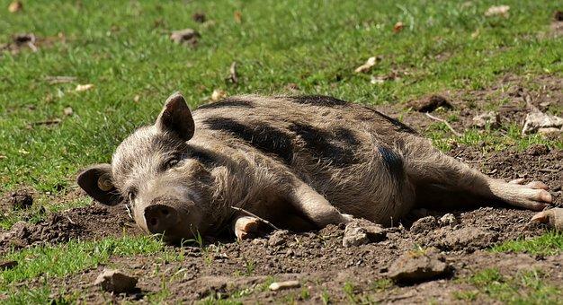 Ловното стопанство в Бяла оповести спешен телефон за сигнали за чумата по свинете