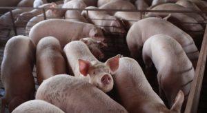 Чумата стигна и до Силистра, заразен е голям свинекомплекс със 17 хиляди животни