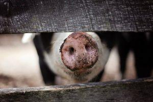 Започна дезинфекция след умъртвяването на прасетата в Созопол