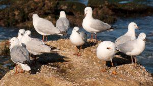 Чайки пренасят върху хората устойчиви на лекарства бактерии