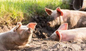 """До 2 август стопаните на свине в обекти тип """"заден двор"""" трябва да са ги умъртвили"""