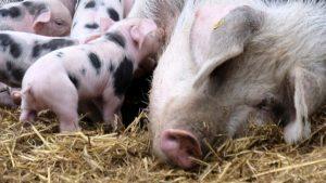 Удължиха срока за умъртвяване на домашните прасета в Пазарджишко
