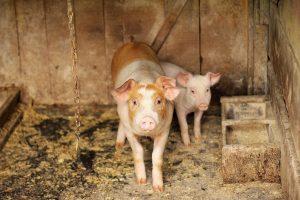 Няма чума в Ямболско, но заповедта за клане на домашни прасета остава