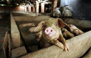 Започват проверките за неумъртвени домашни прасета