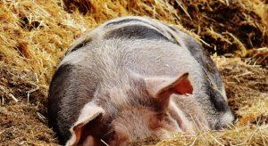 """Инспектори ще търсят неумъртвени прасета в стопанства тип """"заден двор"""" в Плевенско"""