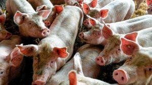 Започва изплащането на обезщетения за умъртвени прасета в Стара Загора
