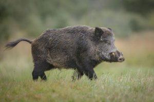 От събота стартира ловът на дива свиня