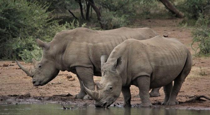Изкуствен рог спасява носорозите от изчезване