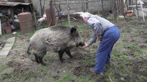 Спешни срещи с ловци след съмнения, че крият случаи на умрели диви свине